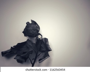 Black dry rose  on gray and white background.