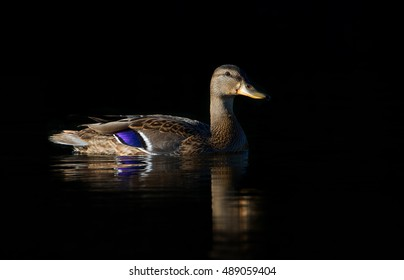 Black duck isolated on black background in Ottawa, Canada