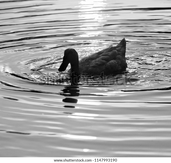 A black duck is swimming in the pond water isolated unique photo