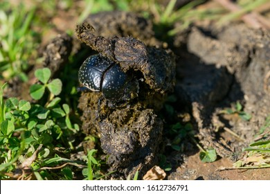 A black dung beetle, scarab beetle, Scarabaeus (Ateuchetus) variolosus, found handling a big ball of dung across a field. Maltese countryside, Malta