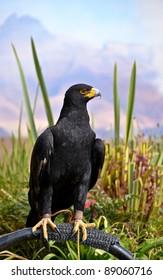 Black Eagle at the Bird Sanctuary