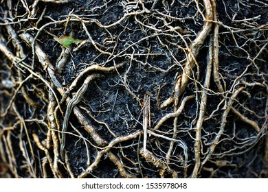Black Earth and roots of large plants taken out of the pot