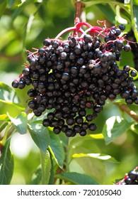 Black elderberry fruits in the sunshine upright