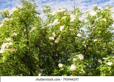 Black Elderberry.Elderflower or Sambucus in full bloom in spring