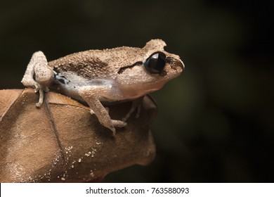Black Eye Litter Frog