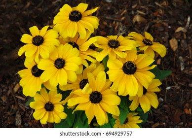 black eyed susan yellow rudbeckia flower