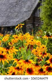 Black eyed susan-rudbeckia flowers on rural old buildings background.