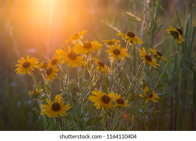 Black eyed Susans at sunset