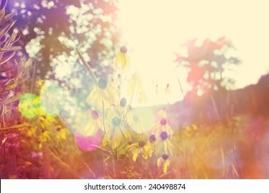 Black Eyed Susan's at sunset. Instagram effect