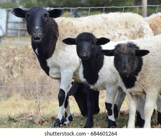 Black faced ewe with her 2 lambs