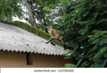 Black faced Gray langur jumping on tree.Hanuman langurs, the most widespread langurs of the Indian Subcontinent, are a group of Old World monkeys constituting the entirety of genus Semnopithecus.