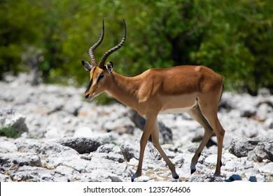 A Black faced impala (Aepyceros melampus) in Etosha, Namibia.