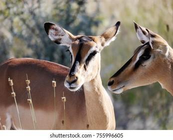 Black faced impalas