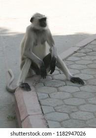 Black faced langur monkey  near Ranakapur, IndiaIndia