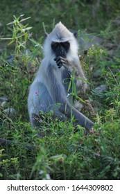 Black faced monkey langur at sri lanka