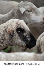 A black faced sheep