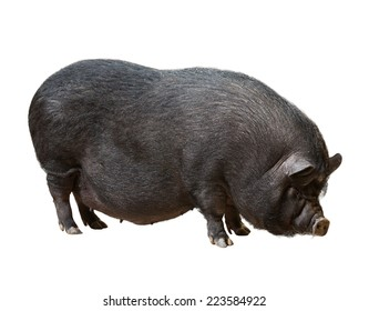 Black farm pig. Isolated over white