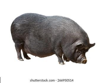 Black farm pig over white background