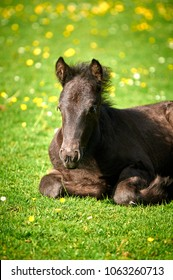 Black Fell Pony foal laying down in grass