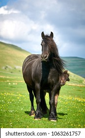 Black Fell Pony mare with foal