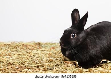 Black female rabbit sitting on hay.Studio shot, empty space