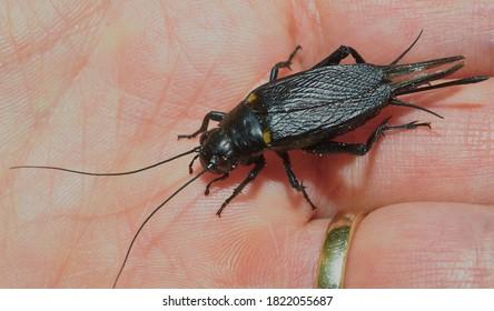 Black field cricket sits on a palm