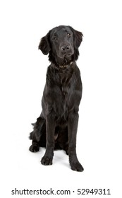 black flat coated retriever isolated on a white background