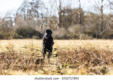 Black Flat-Coated Retriever running and jumping over a creek at a gundog training in order retrieve the dummy