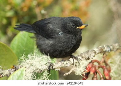 Black Flowerpiercer, Diglossa humeralis