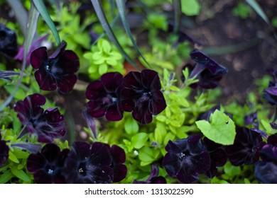 Black flowers on the garden
