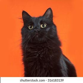 Black fluffy cat sits on orange background