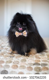 Black fluffy Pomeranian dog with owner on a walk