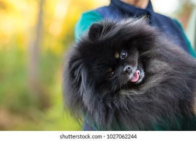Black fluffy Pomeranian dog sits on bed