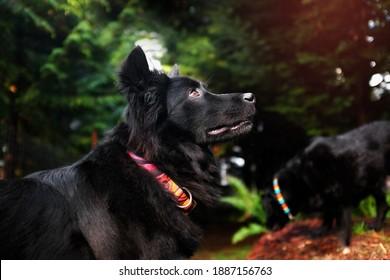 Schwarzer, flauschiger Rettungshund mit seinem Freund, dem Labor im Freien