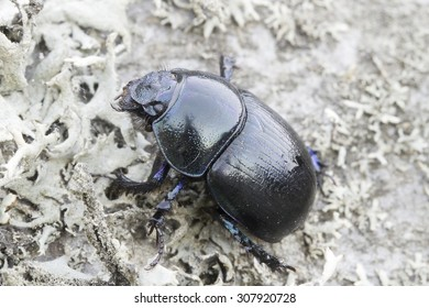 Black Forest dung beetle in natural habitat / Anoplotrupes stercorosus
