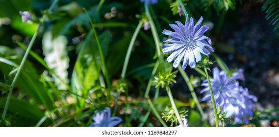 Black forest flower close up
