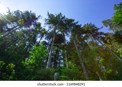 Black forest tree perspective