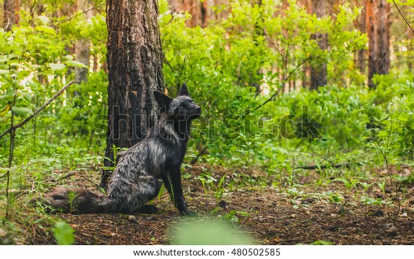 Black fox in forest