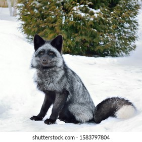Black fox sits in the snow