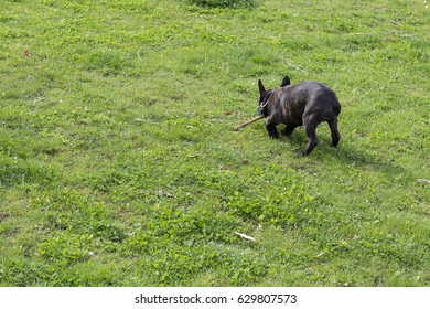 Black French Bulldog On Grass In A Park