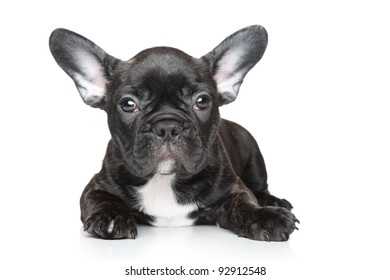 Black French bulldog puppy lies on a white background