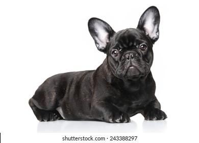 Black French bulldog puppy lying against white background