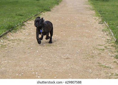 Black French Bulldog Is Running In A Park
