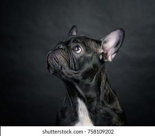 Black french bulldog with white chest on black background, studio portrait. Funny dog.