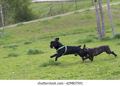 Black French Bulldogs Are Running Across Grass In A Park