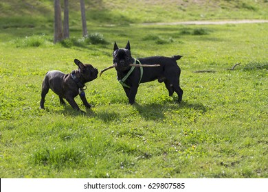 Black French Bulldogs With Wooden Stick In Park