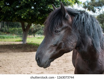 Black Friesian cross horse standing outdoors, closeup of his face side profile.