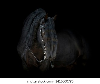 Black friesian horse isolated on black background