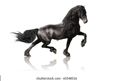 black friesian horse isolated on white