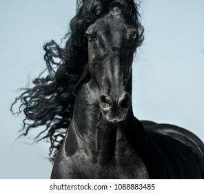 Black friesian horse with long mane face view closeup in movement